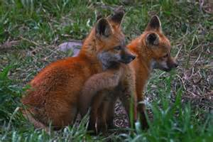 Red fox cubs animal alphabet f pinterest