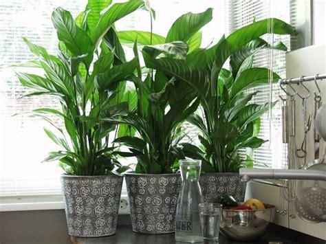 piante da appartamento pendenti spatifillo piante perenni coltivazione spatafillo