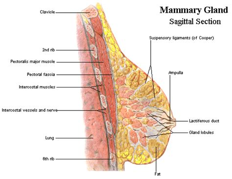 breast anatomy diagram breast anatomy and images