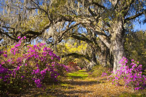 spring landscaping spring flowers charleston sc azalea blooms deep south