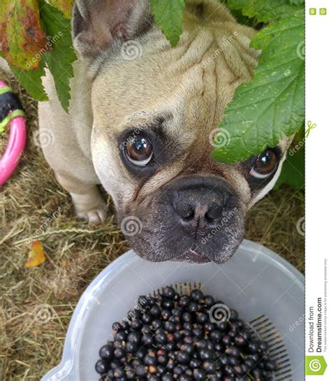 blueberries for dogs berries and dogs