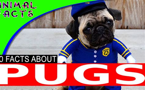 pug dogs 101 animal facts amazing facts and top 10s from the animal kingdom