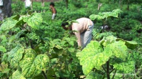 Bibit Nilam peluang menjanjikan dari tanaman nila 1