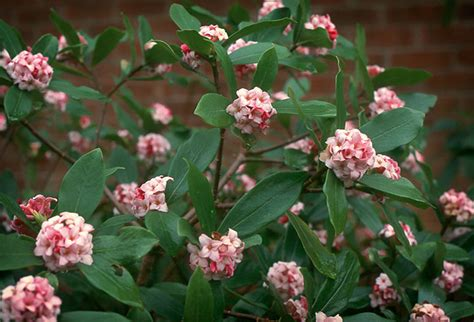 black goldfragrant winter flowering shrubs black gold