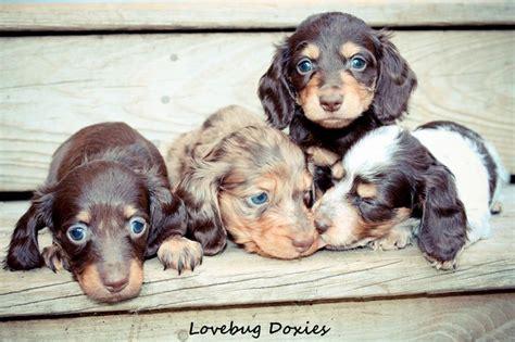 dachshund puppies in michigan 25 best ideas about dachshund breeders on dachshunds for sale daschund