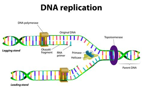 each human chromosome is replicated in about sections department of surgery lynch syndrome