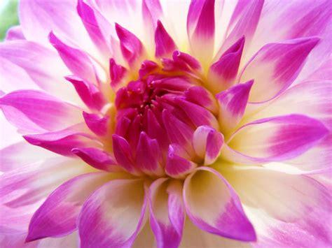 wallpaper bunga dahlia gambar bunga dahlia fotografi makro pernik dunia