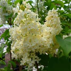 Dwarf Fruit Trees Australia - syringa vulgaris primrose buy yellow lilac trees amp bushes