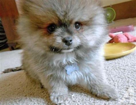 grey pomeranian puppies for sale grey pomeranian puppies for sale in mountlake terrace washington classified