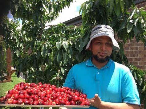 8 cherry trees lower stondon how to plant sweet cherry tree