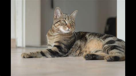 gato pelo corto gato europeo de pelo corto gato c 233 ltico raza de gato