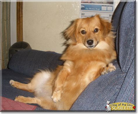 pomeranian and dachshund mix breed pomeranian models picture