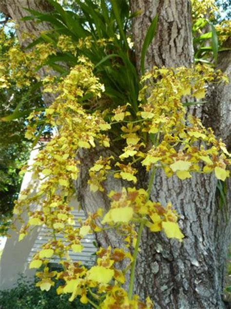 Oncidium Sphacelatum Orchid изображение Sanibel Moorings Sanibel Moorings Botanical Gardens