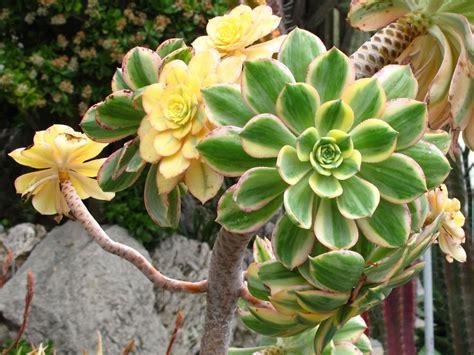 aeonium arboreum var albovariegatum world of succulents