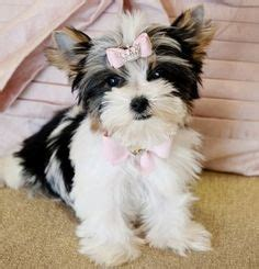 yorkies morkies and more 1000 images about parti yorkies morkies on yorkie terriers and play mate