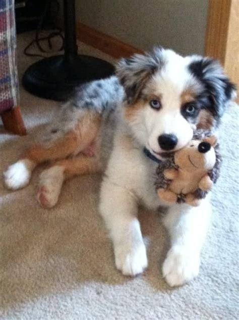 mini aussiedoodle rescue best 25 aussie puppies ideas on