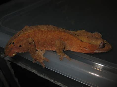 gecko change color do crested geckos change color