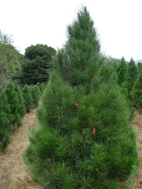 what type of christmas tree lasts the longest castro valley tree farm tree types