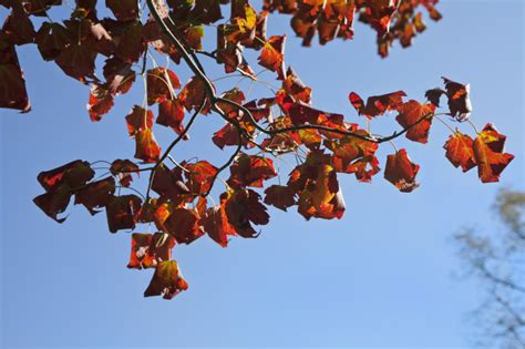 maple tree leaves curling curled maple leaves on the end of a branch clippix etc educational photos for students and