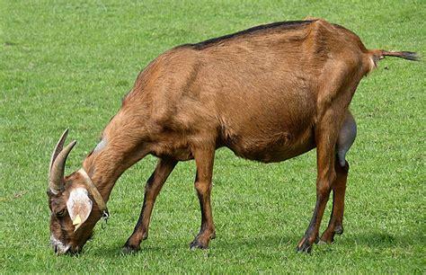 de cabras cabra wiktionary