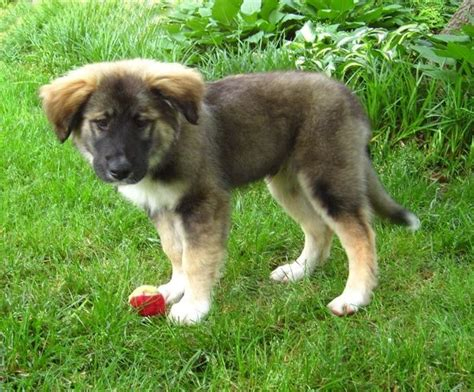 leonberger puppy leonberger info puppies temperament care pictures