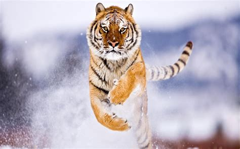 snow winter cute animals tiger hd wallpapers
