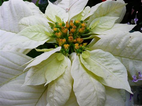 mlewallpapers com white poinsettia