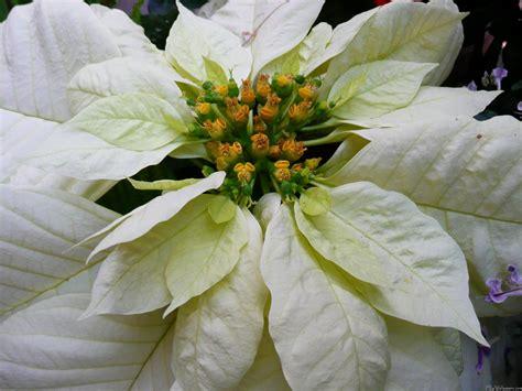 white poinsetta mlewallpapers white poinsettia