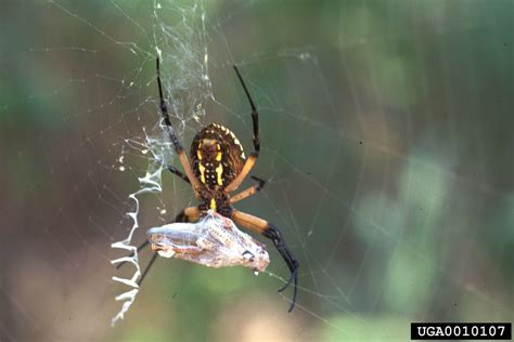 Garden Spider Argiope Yellow Garden Spider Argiope Aurantia Araneae Araneidae