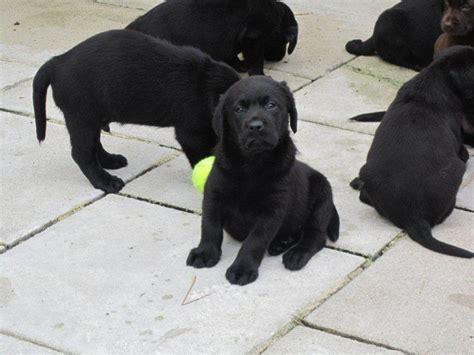 labrador suchen zuhause labrador welpen schwarz und braun suchen neues zu hause