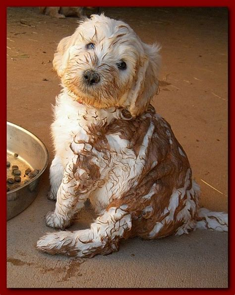 mud puppies for sale southern charm labradoodles american and australian labradoodle puppy breeder