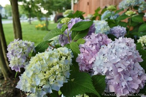 Can You Cut Hydrangeas For A Vase by How To Hydrangeas Sand And Sisal