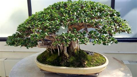 bonsai da appartamento bonsai ficus bonsai coltivare bonsai ficus