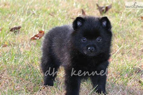 akc schipperke puppies for sale schipperke puppy for sale near springfield missouri d31c7ff4 a7e1
