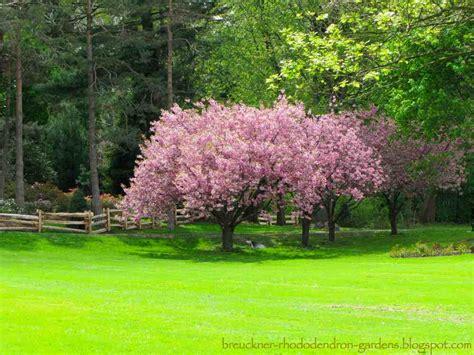 brueckner rhododendron gardens chestnut redbud weeping