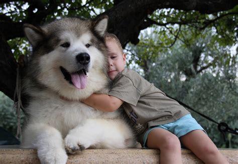 alaska puppies alaskan malamute search friends search and alaskan
