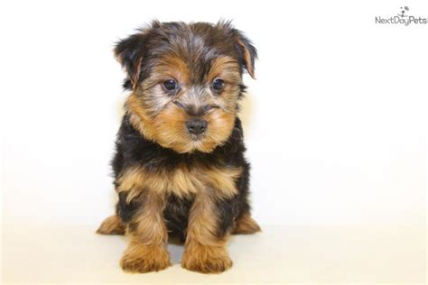 teacup yorkies for sale in ohio 200 terrier yorkie puppy for sale near columbus ohio 43bff475 fe41