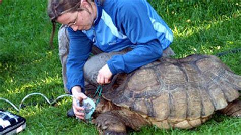 gabbia per tartarughe di terra maschera d ossigeno per tartarughe salvate da un rogo