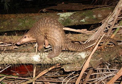 Mata Kucing Yellow 10 trenggiling malaya hewan unik pemakan semut fauna kaltim