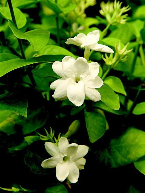 best fragrant indoor plants top fragrant houseplants
