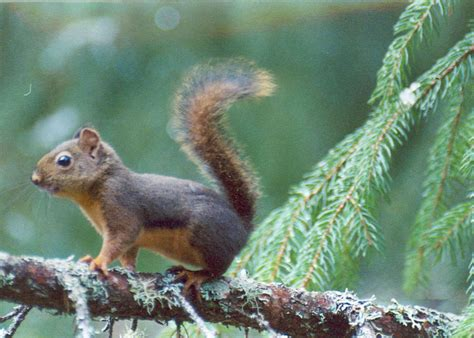 the douglas squirrel tamiasciurus douglasii