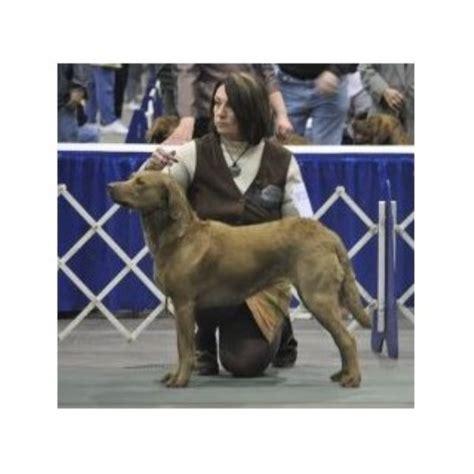 puppies for sale in marquette mi shores chesapeakes chesapeake bay retriever breeder in durand michigan