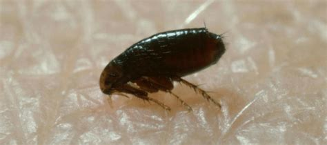 fleas   carpet  pets carpet vidalondon