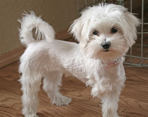 puppy haircut maltese haircuts styles pictures