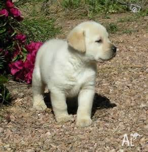 Labrador retrievers puppies for sale for sale in west perth western
