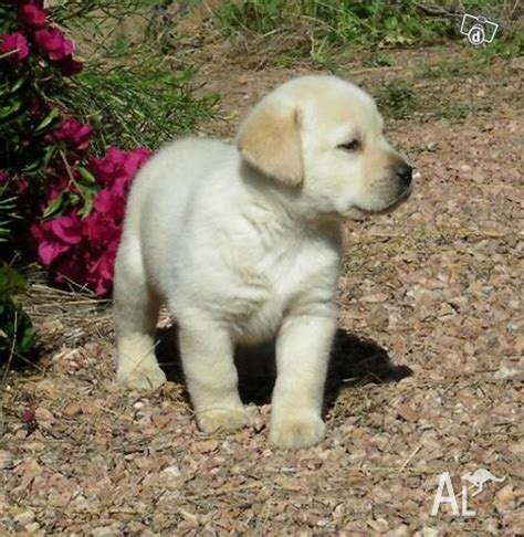golden retrievers for sale illinois golden labrador pups for sale perth