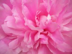 pink peonies you love pink pink color do you love pink