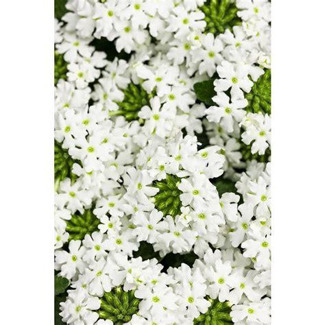 verbena shrub with white flowers proven winners superbena royale whitecap verbena live