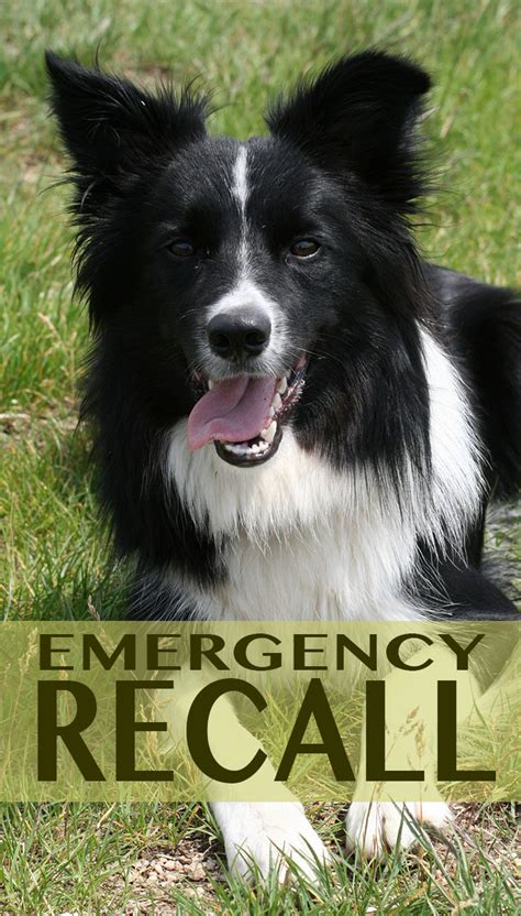 emergency puppy teach your the emergency recall the happy puppy site