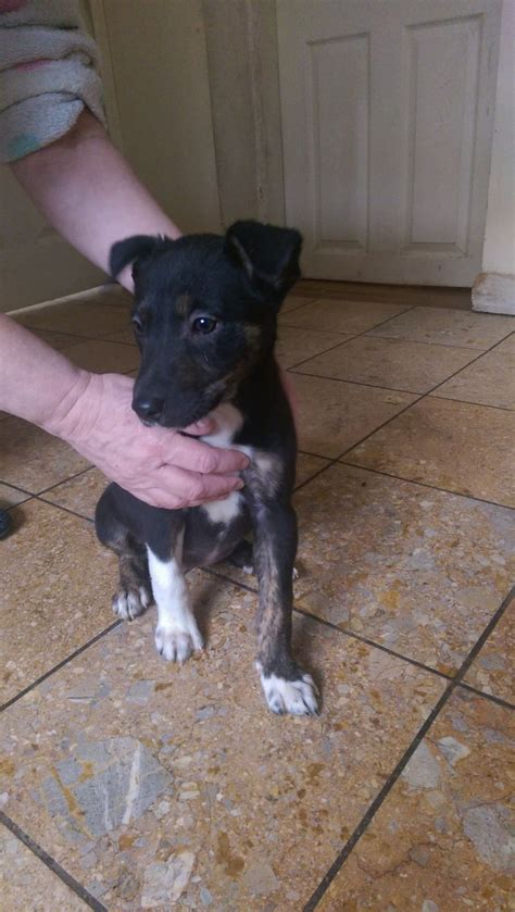 greyhound puppy for sale collie whippet greyhound puppy for sale corwen denbighshire pets4homes